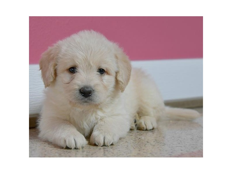Mini Labradoodle-Male-Cream-2528038-The Barking Boutique