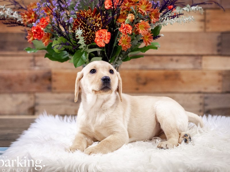 Labrador Retriever-Female-Yellow-2527812-The Barking Boutique