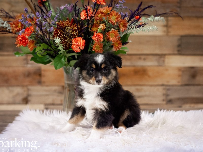 Miniature Australian Shepherd-Female-Tri-Colored-2528036-The Barking Boutique
