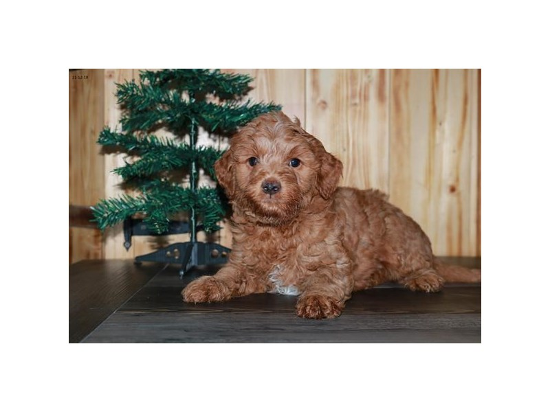 F1B Mini Goldendoodle-Male-Red-2535029-The Barking Boutique