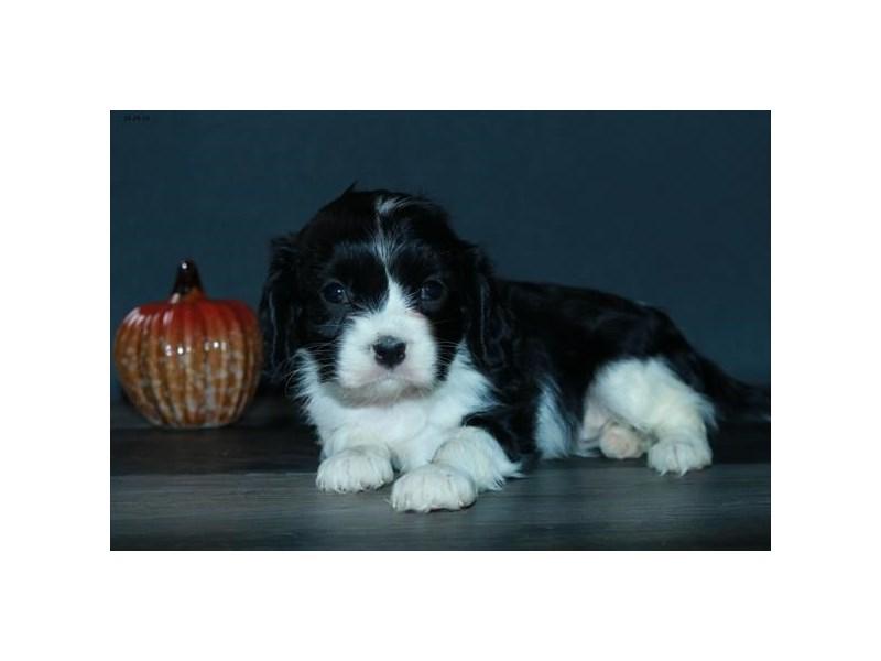 Cavalier King Charles Spaniel-Female-Black / White-2535034-The Barking Boutique
