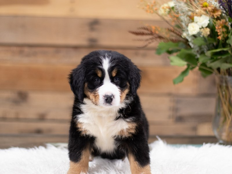 Bernese Mountain Dog-Female-Tri color-2535127-The Barking Boutique
