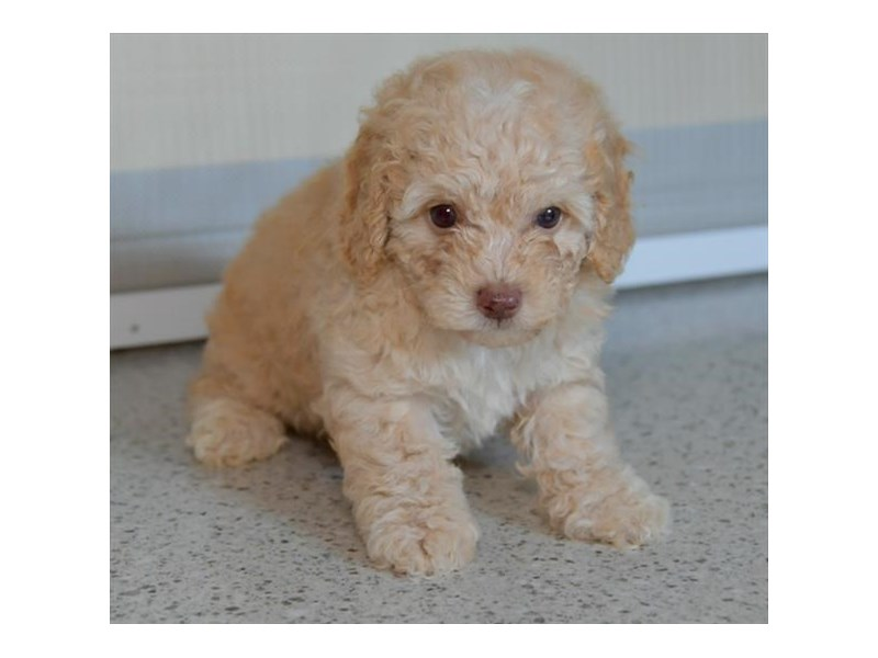 Poodle-Male-Golden-2474252-The Barking Boutique