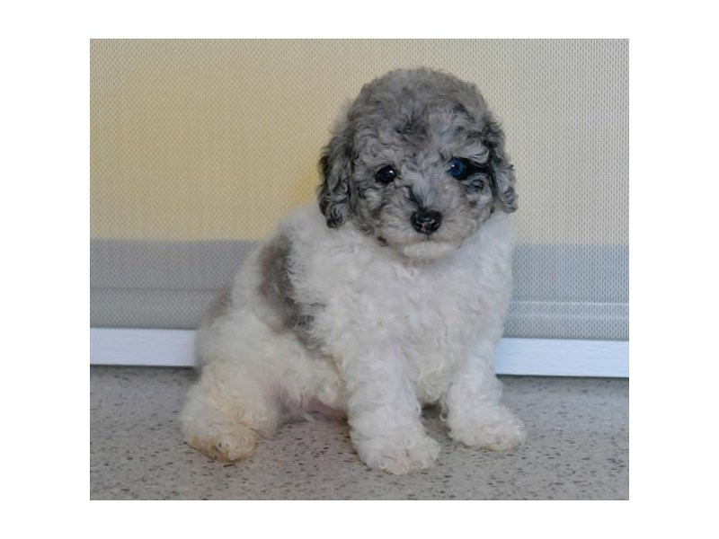 Poodle-Male-Blue Merle / White-2494240-The Barking Boutique