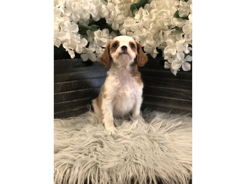 F1b Cavapoo-Male-Blenheim & White-2518511-The Barking Boutique