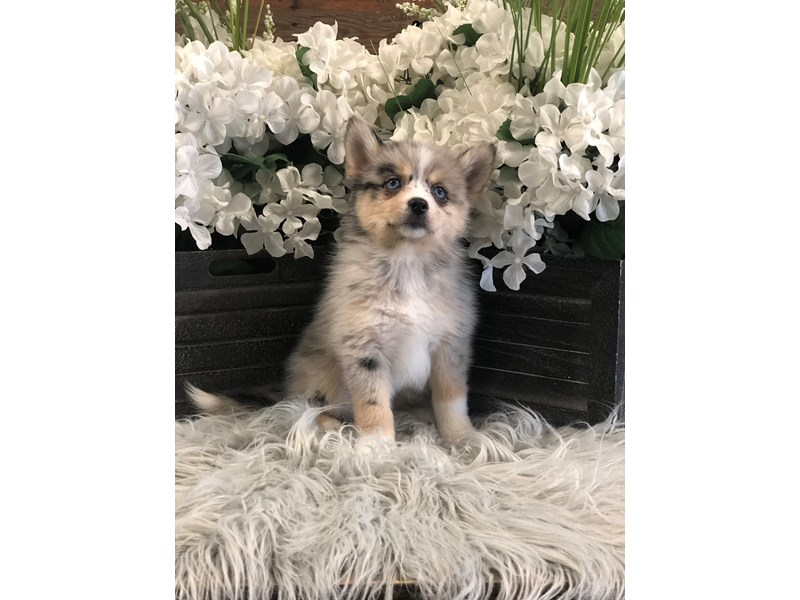 Pomsky-Female-blue mrl-2518495-The Barking Boutique