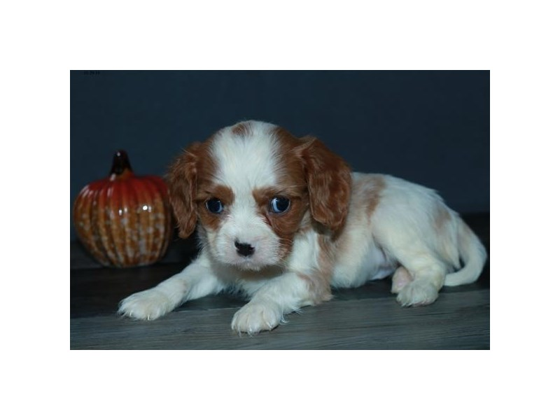 Cavalier King Charles Spaniel-Male-Blenheim-2521343-The Barking Boutique