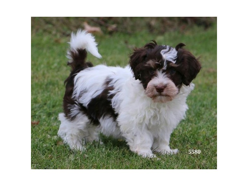 Havanese-Male-Chocolate / White-2521430-The Barking Boutique
