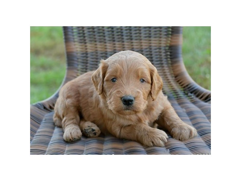 Mini Goldendoodle-Male-Golden-2521432-The Barking Boutique