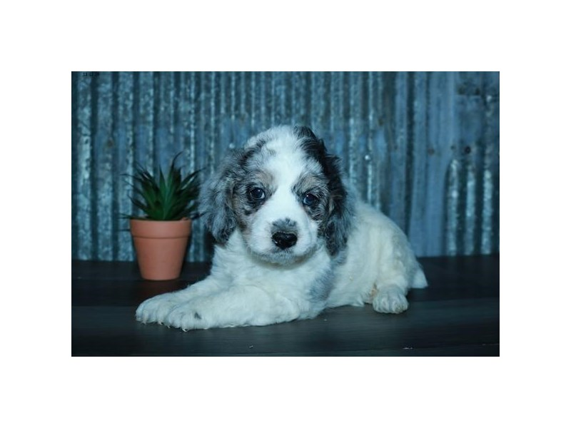 F1b Cockapoo-Male-White / Blue Merle-2535026-The Barking Boutique