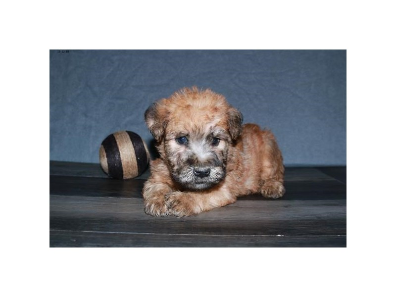 Soft Coated Wheaten Terrier – Sherlock Bones