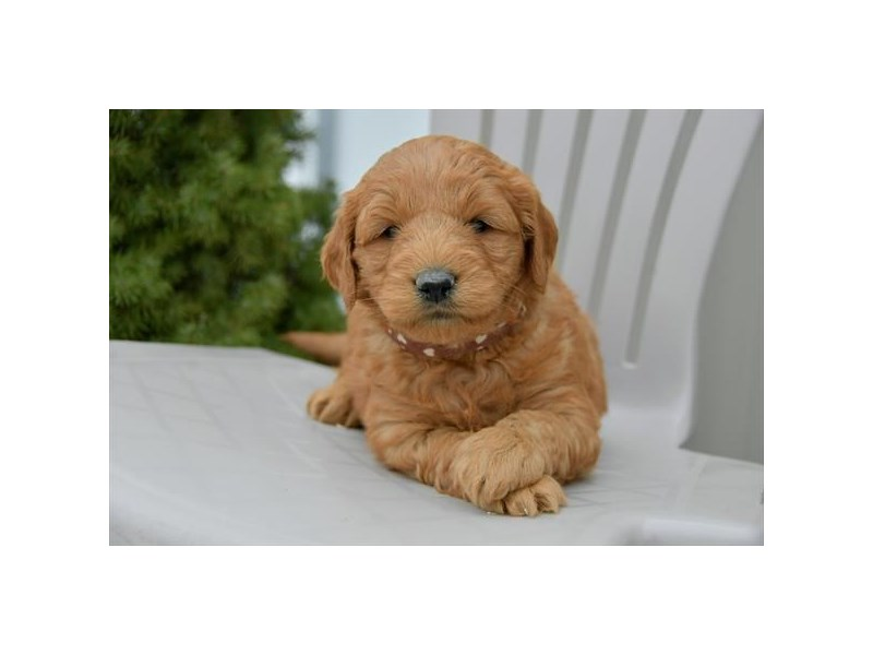 Mini Goldendoodle-Male-Red-2535033-The Barking Boutique