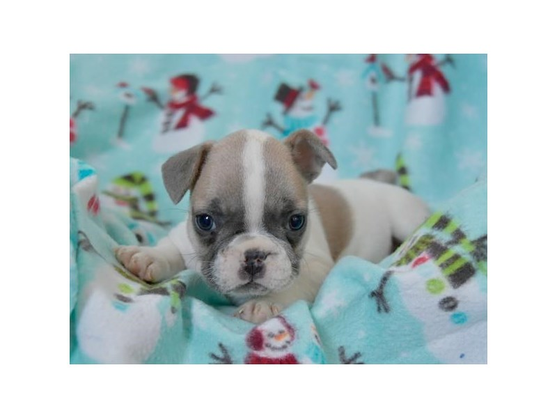 French Bulldog-Female-Blue Fawn-2535187-The Barking Boutique