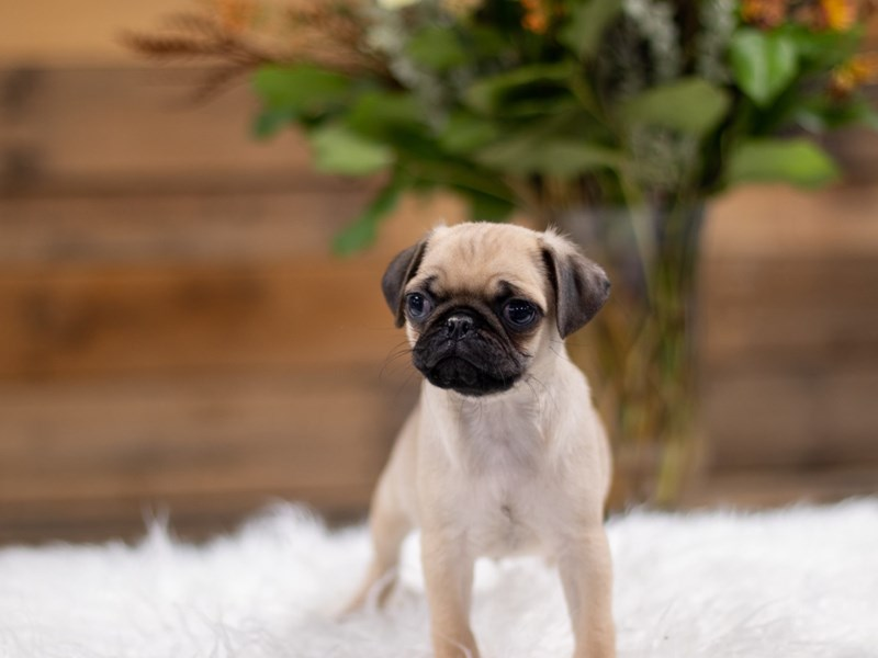 Pug-Male-Fawn-2535027-The Barking Boutique