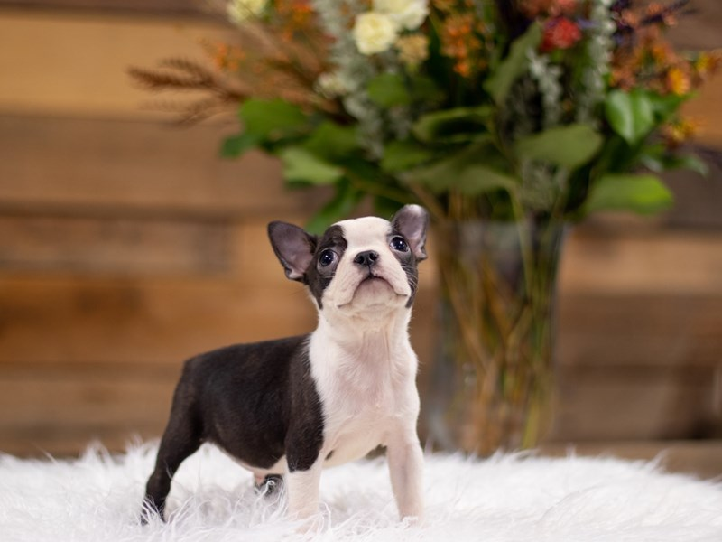 Boston Terrier-Male-Black and White-2534745-The Barking Boutique