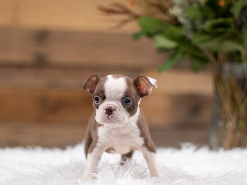 Boston Terrier-Female-Red and White-2534747-The Barking Boutique