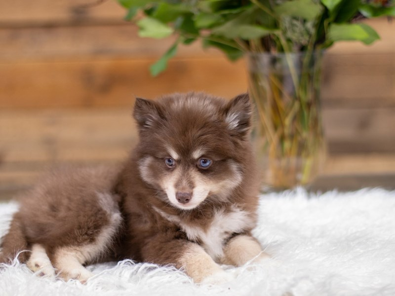 Pomsky 2nd Gen-Male-Choc & tan-2535136-The Barking Boutique