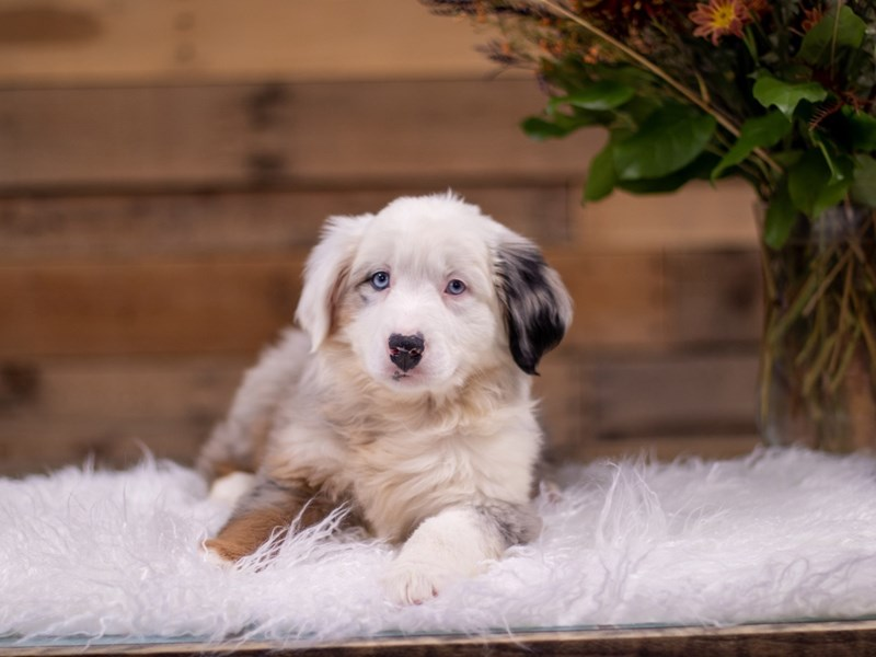 Australian Shepherd-Male-Blue Merle-2535202-The Barking Boutique