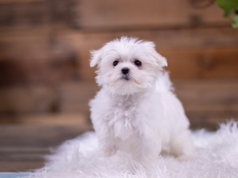Maltese-Female-White-2535036-The Barking Boutique