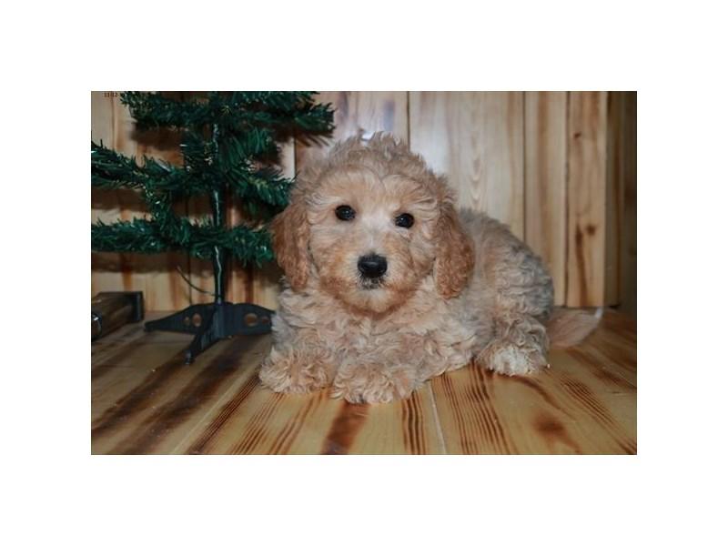 F1B Mini Goldendoodle-Female-Cream-2541820-The Barking Boutique