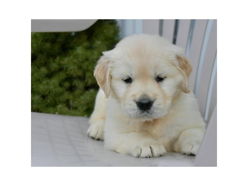 Golden Retriever-Female-Cream-2541821-The Barking Boutique