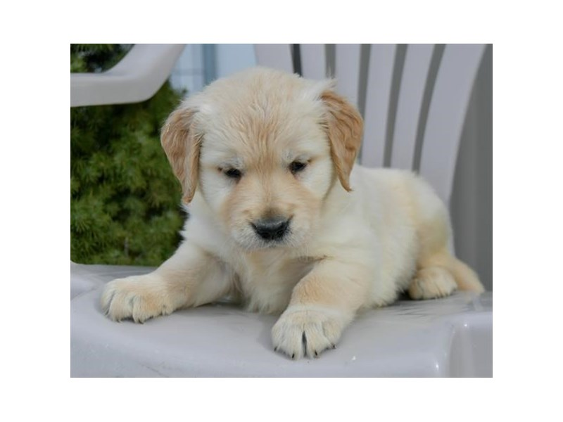 Golden Retriever-Male-Cream-2541822-The Barking Boutique