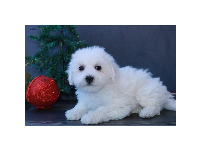 Bichon Frise-Male-White-2541828-The Barking Boutique