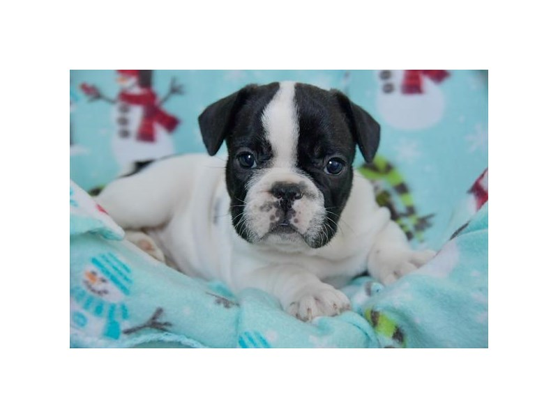 French Bulldog-Male-Black / White-2541850-The Barking Boutique