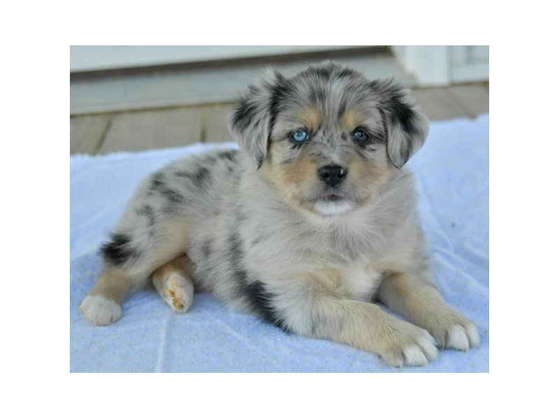 Miniature Australian Shepherd-Male-Blue Merle-2541931-The Barking Boutique