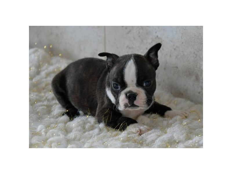 Boston Terrier/English Bulldog-Male-Brindle / White-2541932-The Barking Boutique