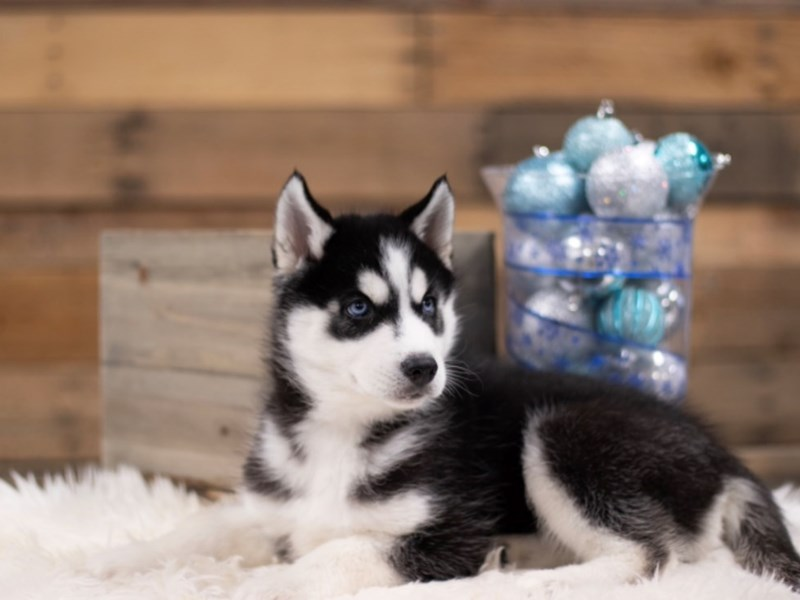 Siberian Husky – Prince Hans