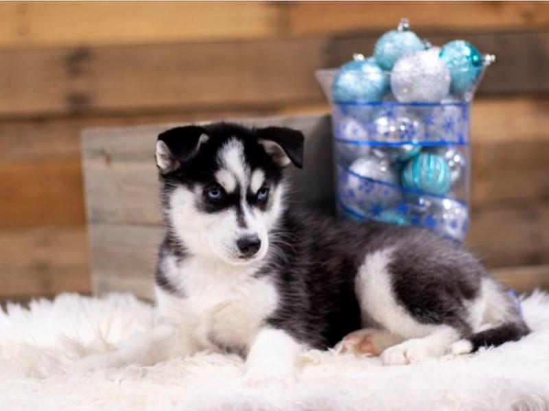 Siberian Husky – Elsa