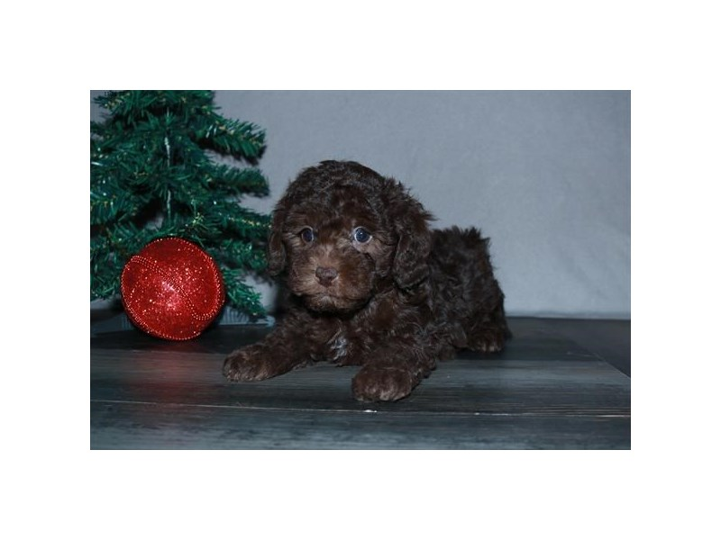 Poodle-Male-Chocolate-2551783-The Barking Boutique