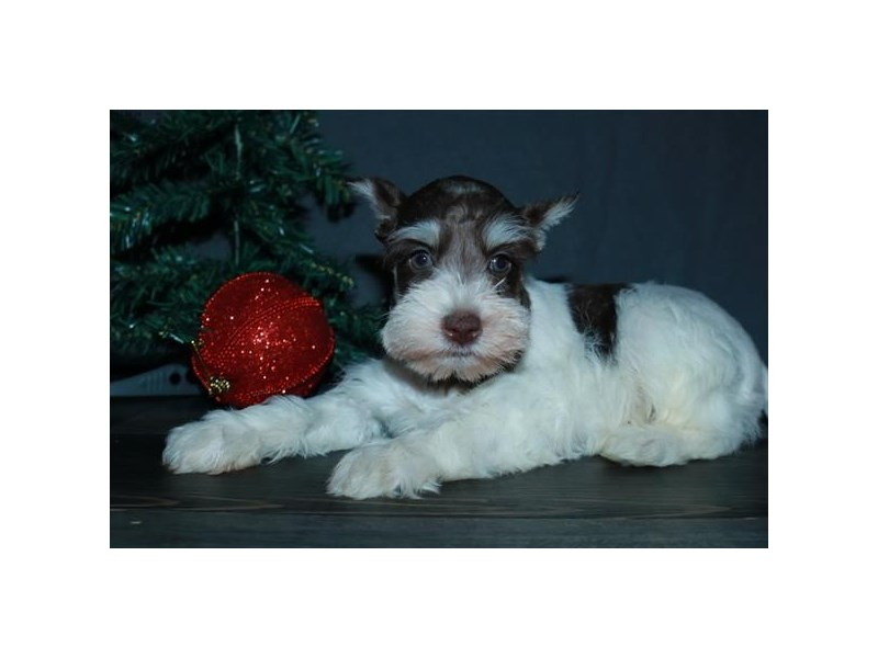 Miniature Schnauzer – Holly Berry