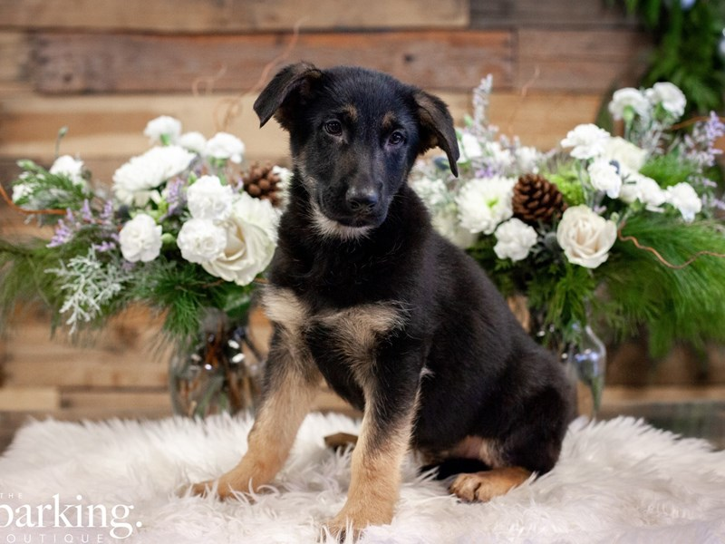 German Shepherd-Female-Black & Tan-2546101-The Barking Boutique