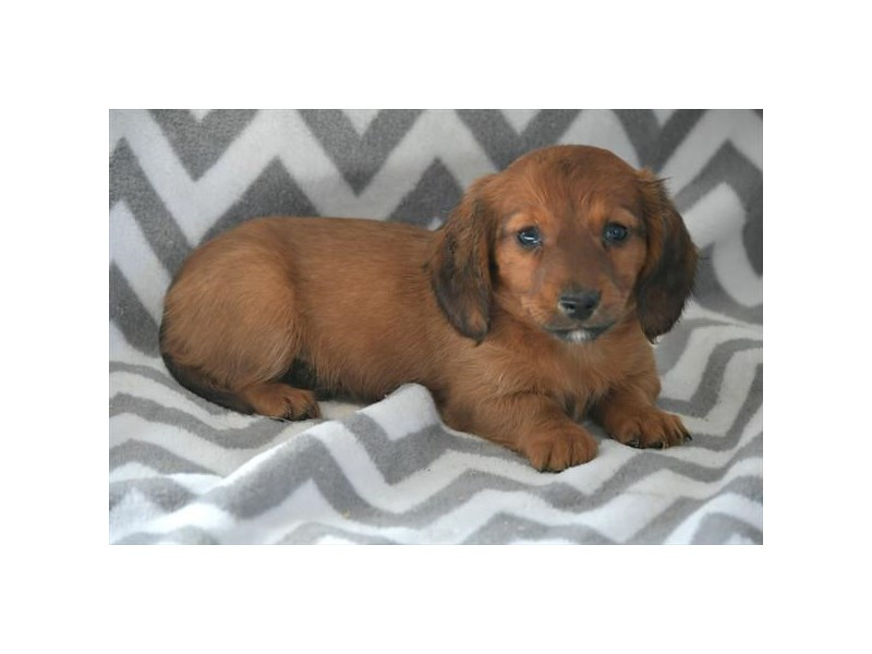 Dachshund-Female-Red-2558678-The Barking Boutique
