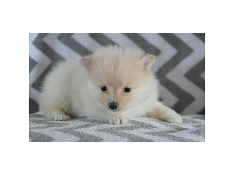 Pomeranian-Male-Cream-2558898-The Barking Boutique