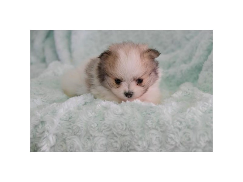 Pomeranian-Female-Sable / White-2558899-The Barking Boutique
