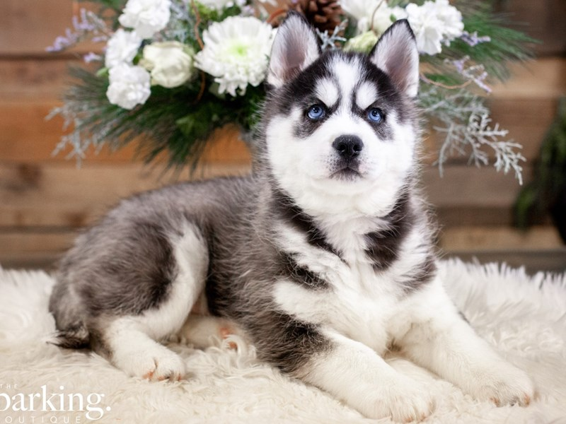 Siberian Husky-Male-Black / White-2558676-The Barking Boutique
