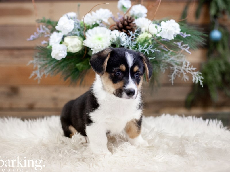 Pembroke Welsh Corgi-Male-Black / White-2558681-The Barking Boutique