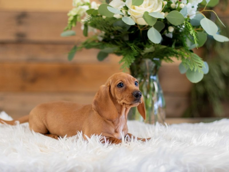 Dachshund-Female-Red-2564187-The Barking Boutique