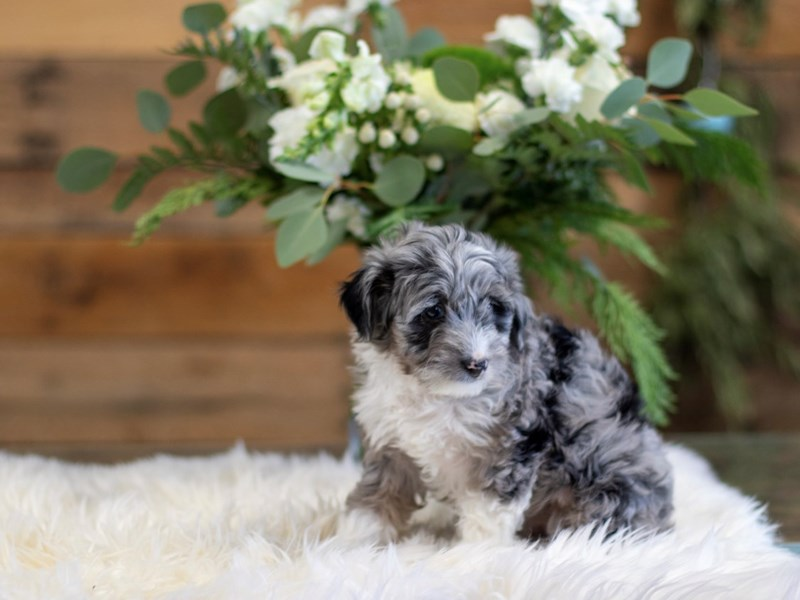 Aussiepoo-Female-Blue Merle-2564164-The Barking Boutique