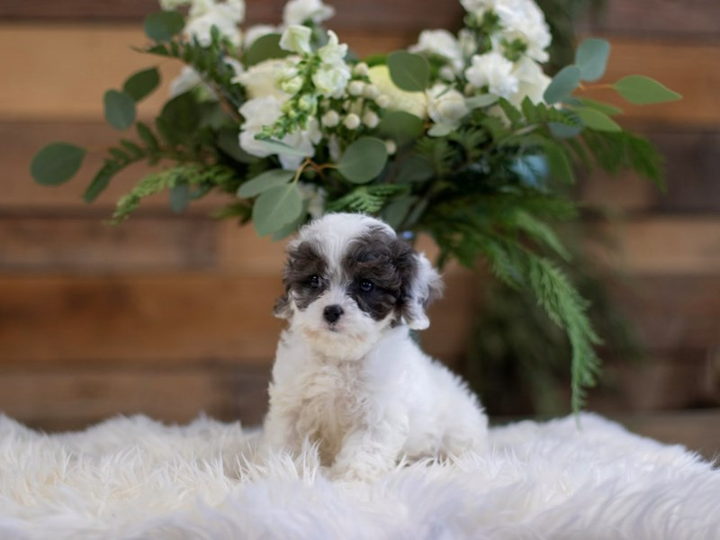 Cavapoo-Male-Blue Merle & White-2564157-The Barking Boutique