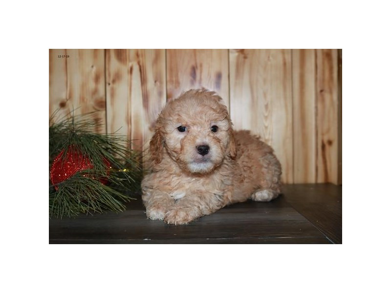 F1B Mini Goldendoodle – Cork