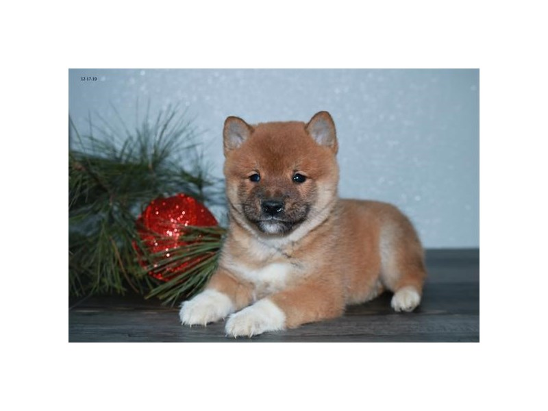 Shiba Inu-Male-Red-2572104-The Barking Boutique