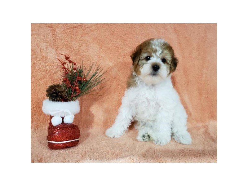 Yorkiepoo-Female-Brown / White-2572108-The Barking Boutique