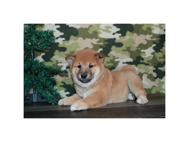 Shiba Inu-Female-Red-2572111-The Barking Boutique