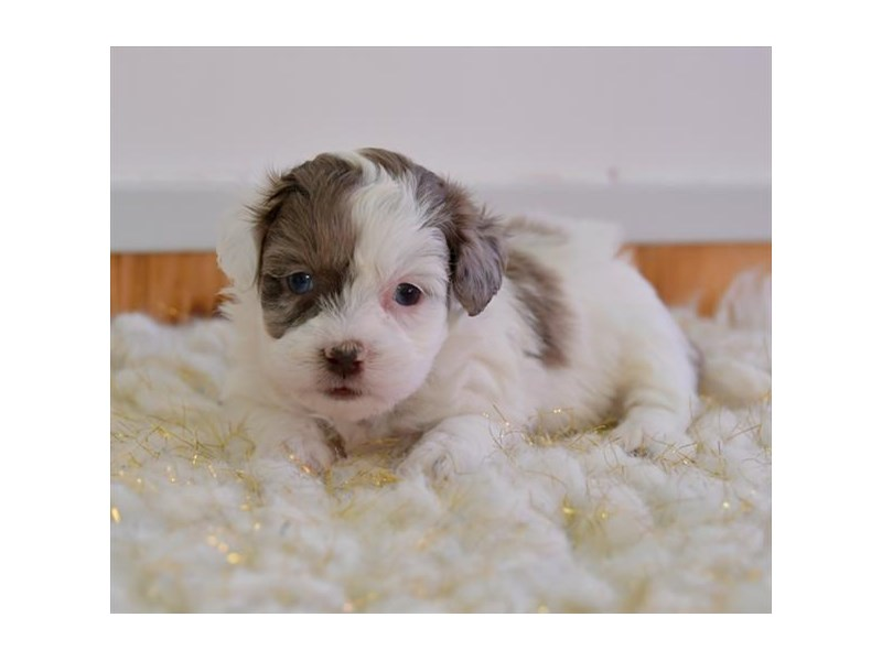 Havapoo-Male-Chocolate / White-2572136-The Barking Boutique