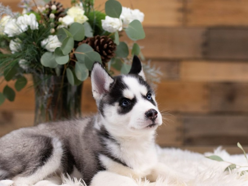 Siberian Husky-Male-Gray / White-2572103-The Barking Boutique