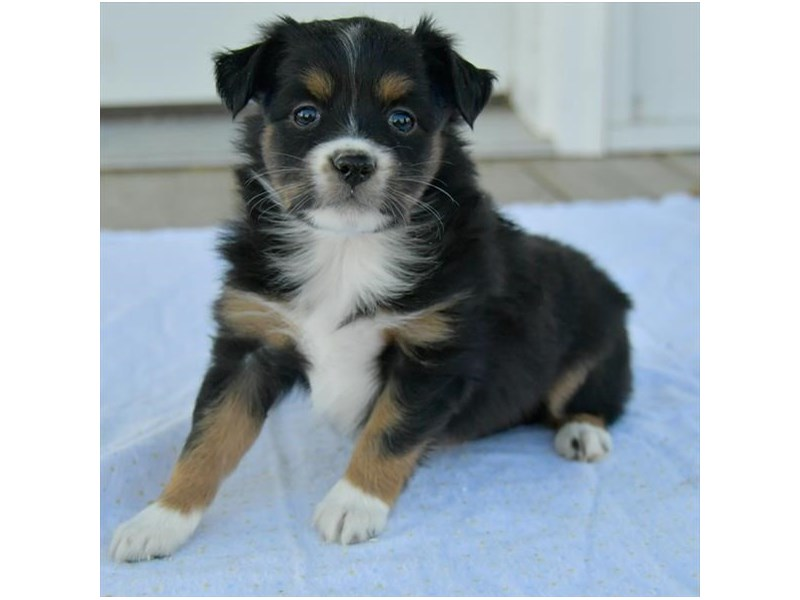 Miniature Australian Shepherd-Female-Tri-Colored-2541919-The Barking Boutique